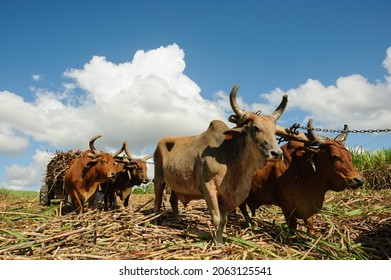 Sugarcane harvest in the Dominican Republic. The Haitian driver drives a Stick with a stimulus, a cart drawn by buffaloes. agricultural image. Dominican Republic El Seibo 04.02, 2015.