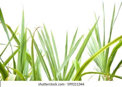 sugarcane leaf on isolated white background