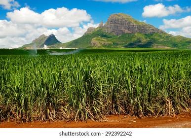 Sugarcane & Mountains -. Mauritius