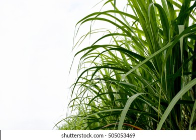 Sugarcane on white background