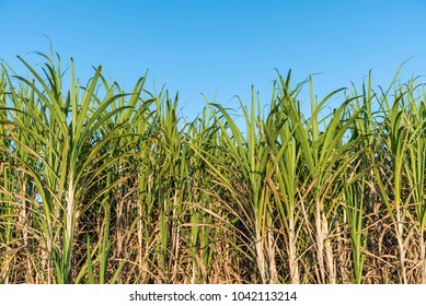 Sugarcane Plant Field In Clear Sky