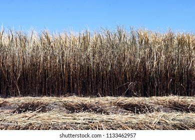 sugarcane plantation burn, sugarcane, sugarcane field is burned for harvesting, background picture of sugar cane farmers farm, sugarcane agriculture