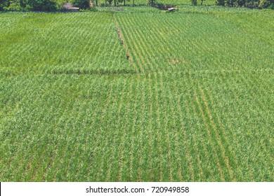 sugarcane plantation pattern background.