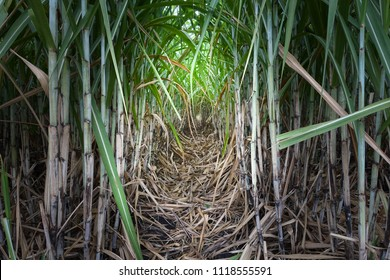 Sugarcane plantations,the agriculture tropical plant in Malaysia. Sugarcane is one of the most wide-spread plants in the world, found especially in warm temperature area. Cleaning the field.