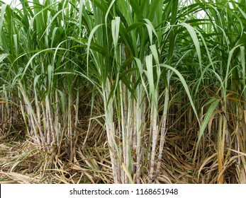 Sugarcane plantations,the agriculture tropical plant in Thailand