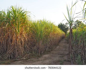 Sugarcane planted very popular. Sugarcane is a raw material for sugar.