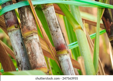 sugarcane stalks grow at field