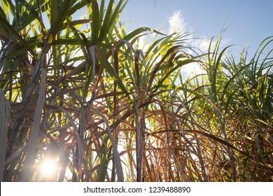 Sugarcane, Sugar cane plantation