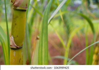 Sugarcane tree background. Selective focus.