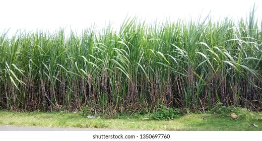 Suger Cane Field, Nature View