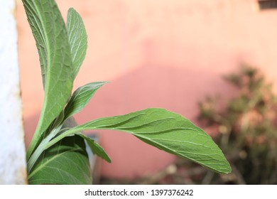 Suger free leaves.recomented by doctors