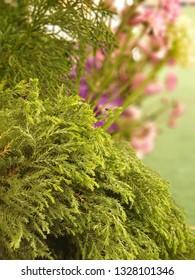 Sugi background. (Japanese Cedar) Decorate a bouquet of flowers