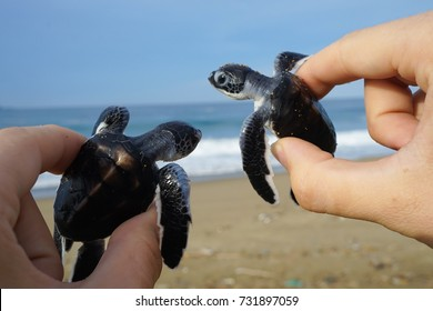 Sukamade beach located in Pesanggaran subdistrict is one of Indonesia's most important turtle spawning grounds.