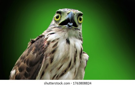 The Sulawesi hawk-eagle or Nisaetus lanceolatus, also known as Celebes hawk-eagle, is a medium-sized, approximately 64 cm (25 in) long.