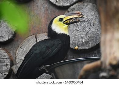 The Sulawesi hornbill (Rhabdotorrhinus Exarhatus), also known as the Sulawesi tarictic hornbill, Temminck's hornbill or Sulawesi dwarf hornbill. Family: Bucerotidae.