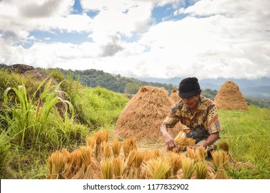 Sulawesi, Indonesia - July 8, 2018: Local farmer harvests rice in Tana Toraja highlands near Batutumongi village. South Sulawesi, Indonesia
