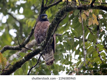 Sulawesi serpent eagle (Spilornis rufipectus) in Lore Lindu National Park, Sulawesi island, Indonesia