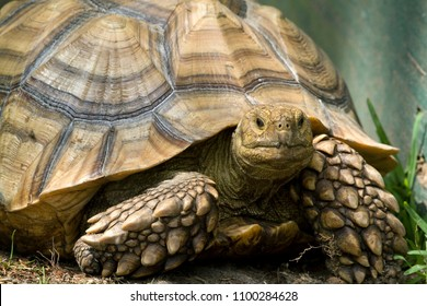 Sulcata - African Spurred Tortoise