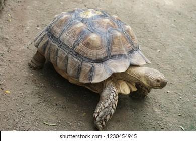 Sulcata tortoise, africa spurred tortoise, tsulcata, turtle, land turtle, tortoise.