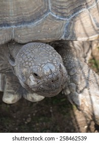 Sulcata Tortoise close up of head