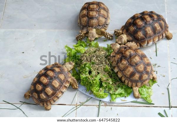 Sulcata tortoise eating food