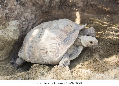 Sulcata turtle is hatching