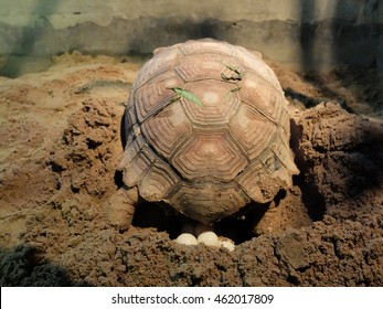 Sulcata Turtle or Tortoise laying eggs: the Natural endeavor Sulcata Tortoise  laying eggs
