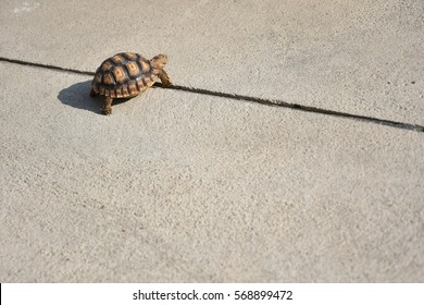 sulcata turtle walking on the floor