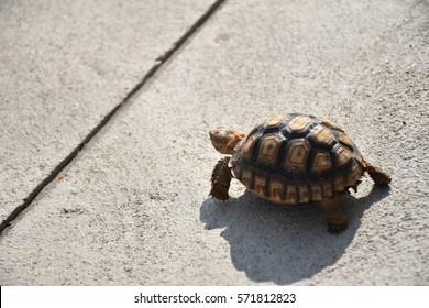 sulcata turtle walking on the floor