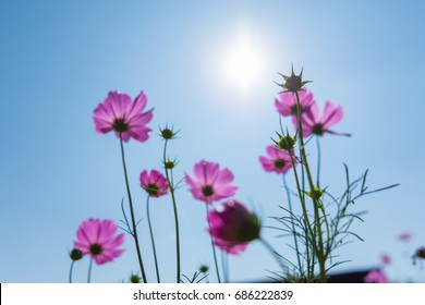 Sulfur cosmos blossom the field on a day sunshine