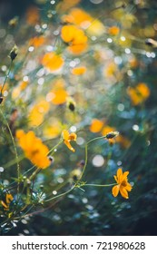 Sulfur Cosmos in a early morning