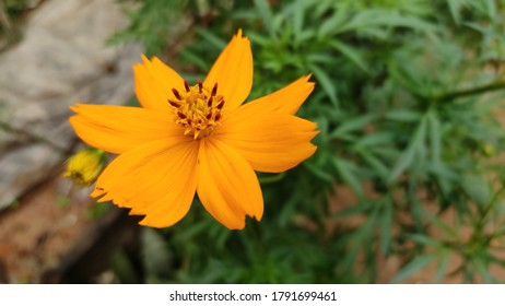 Sulfur cosmos and petal, orange, park, yellow Flowers