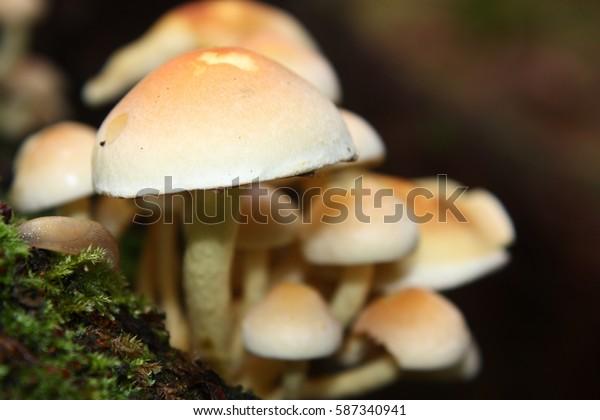 sulfur tuft or clustered woodlover, Hypholoma fasciculare
