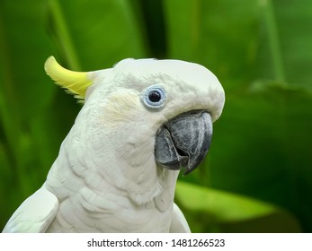 sulphur crested cockatoo at bali bird park