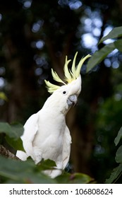 Sulphur Crested Cockatoo (Cacatua galerita) on branch in natural surroundings in Australia