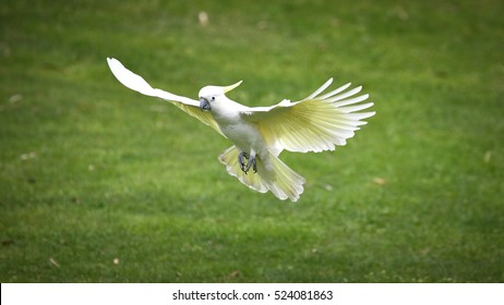 Sulphur crested Cockatoo (Cacatua galerita) in flight. Bird prepare for landing. Grassland background, Australia