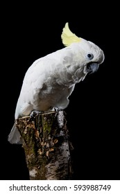 Sulphur Crested Cockatoo Cacatua galerita sitting on a tree stump on a blackbackground showing yellow crest and feather detail on the bird.