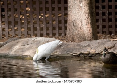 the sulphur crested cockatoo is drinking from the edge of the pond