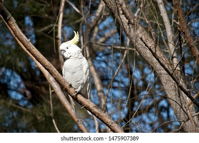 the sulphur crested cockatoo is perched in a tree