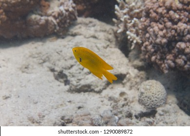 Sulphur Damsel on Coral Reef in Red Sea off Dahab, Egypt