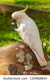 Sulphur-crested cockatoo bird eating on a rock in beautiful sunlight