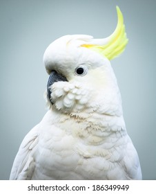 Sulphur-crested Cockatoo (Cacatua galerita) head and shoulders with feathers fluffed up around the beak