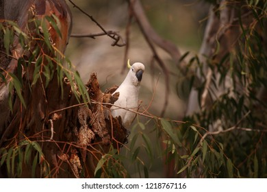 A Sulphur-crested Cockatoo at the entrance to its nest hollow