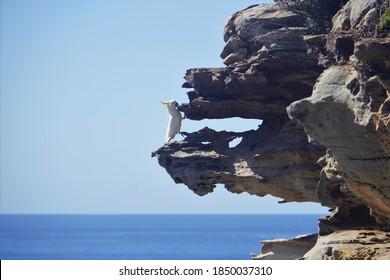 Sulphur-Crested Cockatoo practicing Rock Climbing
