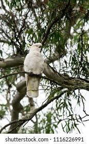 Sulphur-crested cockatoo in the wilderness in Australia.