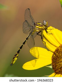 Sulphur-tipped Clubtail dragonfly (Gomphus militaris) perched on an unidentified flower in South Texas.