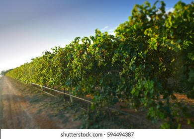 Sultana grape vineyrd. Location: Filmed Mildura Region