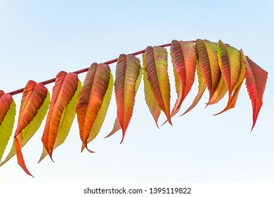 Sumac branch on a blue sky background. Colorful sumac leaves at autumn time.