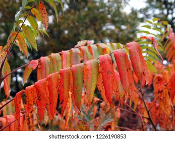 Sumac in the fall. Three branches of the sumac shrub, all colored in red, orange and green. Long narrow colorful leaves. Big tree in the background. Taken in October.