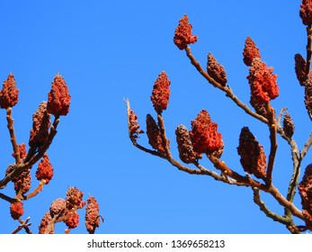 Sumac flowering plant in the winter, North America. Bright red flowers in long dense panicles or spikes, dense clusters of reddish drupes called sumac bobs growing on brown branches, blue sky